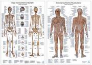 Die menschliche Muskulatur/Das menschliche Skelett, 2 Lerntafeln 90 x 60 cm in Kunststoffhülle
